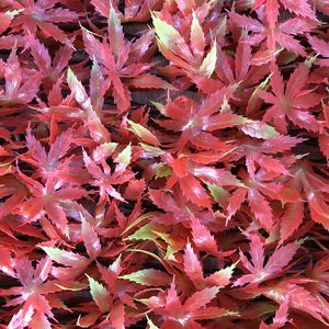 Japanese Red Maple Garden Trellis Screening - garden structures