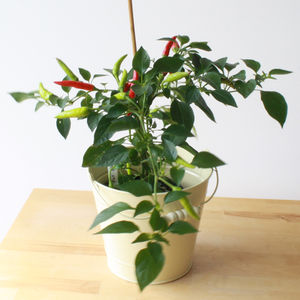 Super Chilli Plant - home accessories