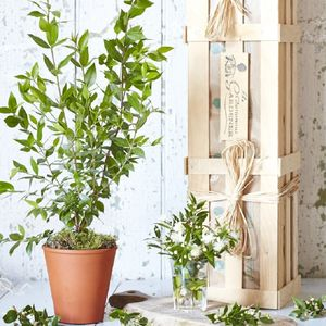 Myrtle 'The Evergreen Romance' Tree Gift - engagement gifts