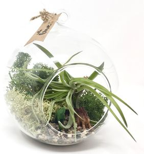Jurassic Air Plant Terrarium Kit