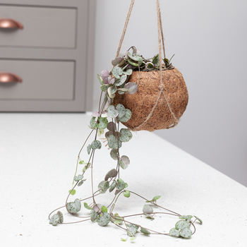 String Of Hearts House Plant In Hanging Kokedama