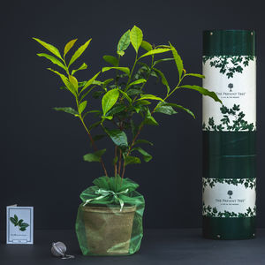 Tea Plant Gift Set - 60th anniversary: diamond