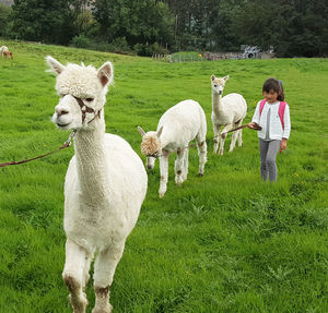 Meet The Alpacas In The Lake District - unusual activities