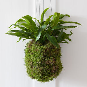 Large Handmade Hanging Kokedama - new in home