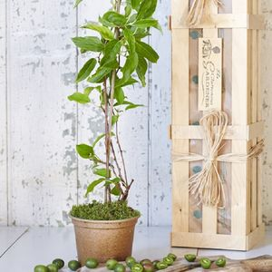Cocktail Kiwi Plant Gift - gifts for couples