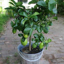 3ft Lemon Tree