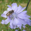 solitary bee pollinating on flower