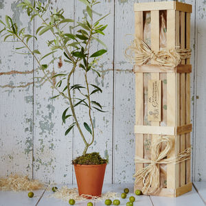 Olive 'The Tree Of Peace' Gift - gardening