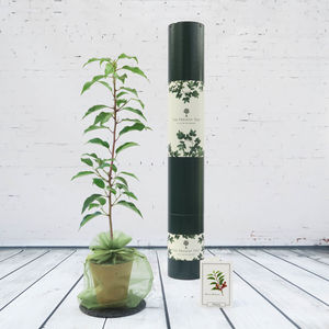 Flowering Cherry Tree Gift - gardening