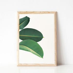 Rubber Fig Leaves Ii Photographic Print - view all new