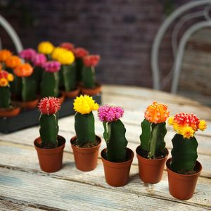 Colourful Flowering Cactus Plants - flowers, plants & vases