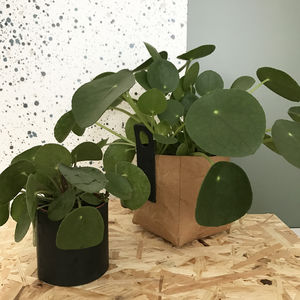 Chinese Money Plant | Pilea Peperomioides - home accessories