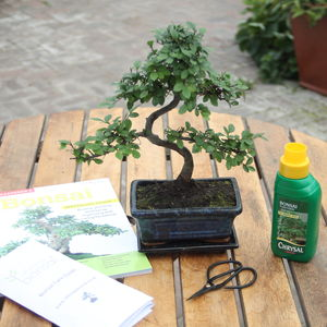 Eight Year Old Bonsai Tree Gift Set