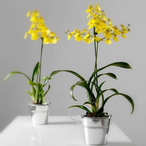 Yellow Dancing Lady Orchid - tropical homeware