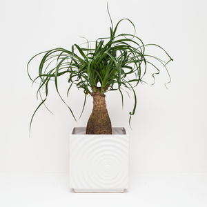 Ponytail Palm Houseplant - pots & planters