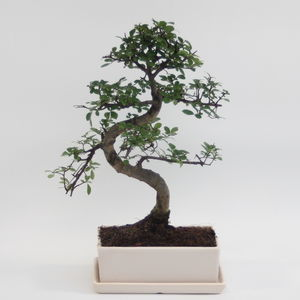 12 Year Old Bonsai Tree In Glazed Pot And Matching Tray
