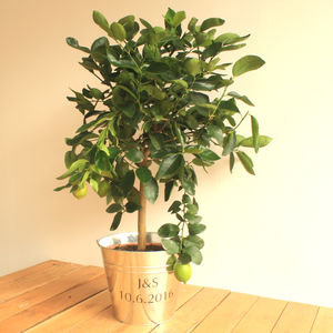 3ft Lime Tree - for the couple