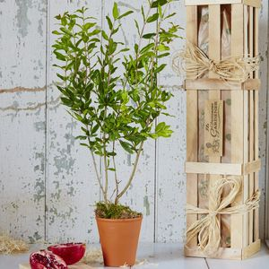 Pomegranate 'The Tree Of Love' Gift - home wedding gifts