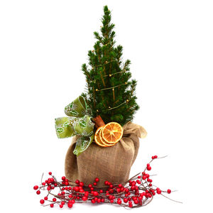 Plant Gift Dwarf Picea Tree Gift