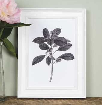 'Securinega' Botanical Illustration Print