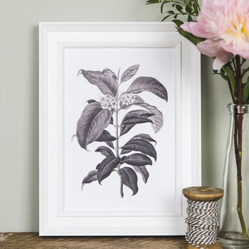 'Metrosideros' Botanical Illustration Print