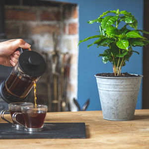 Grow Your Own Coffee Tree Gift