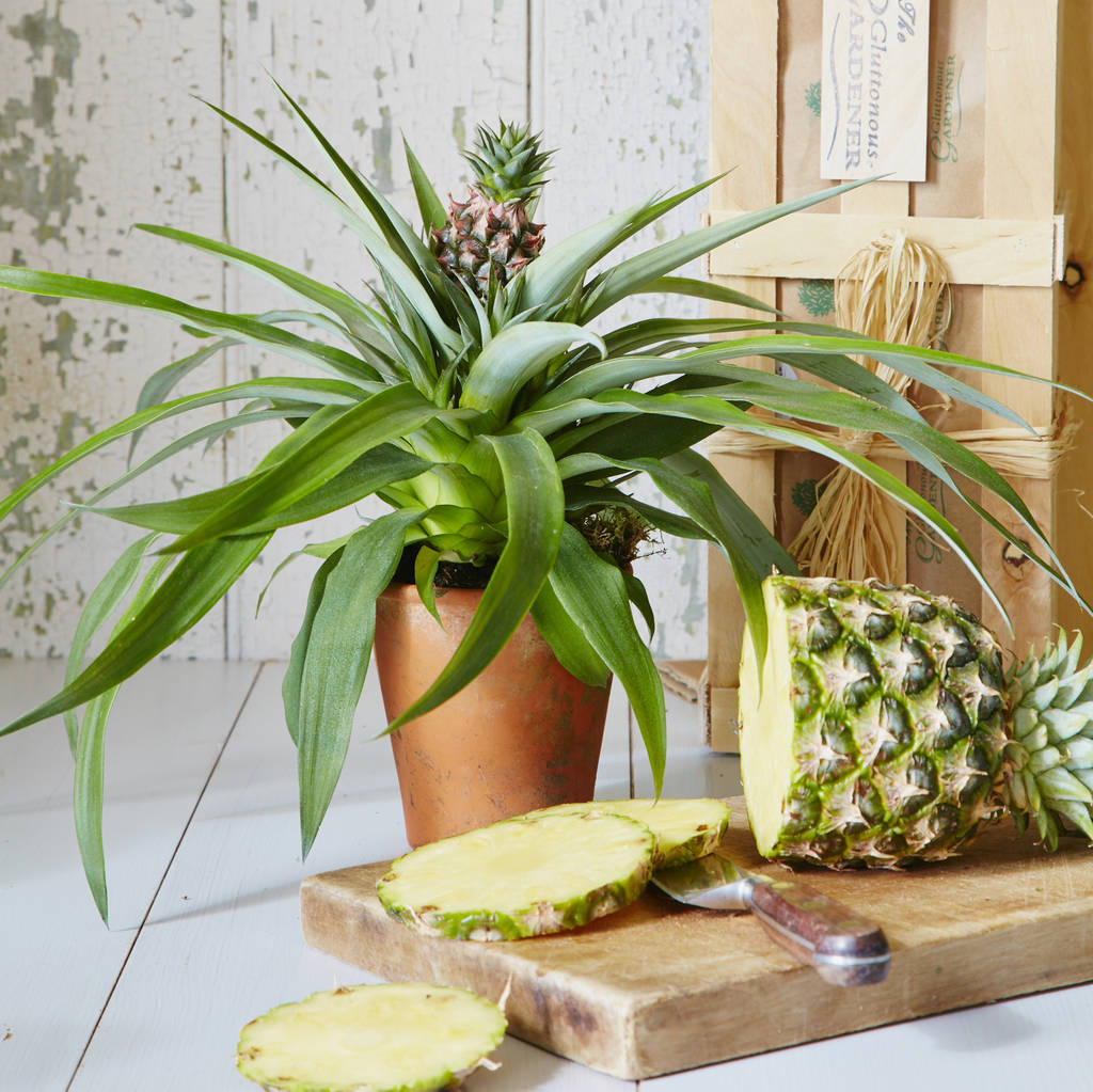 exotic indoor pineapple plant by the gluttonous gardener. Black Bedroom Furniture Sets. Home Design Ideas