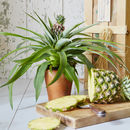 Exotic Indoor Pineapple Plant
