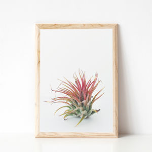 Air Plant Photographic Print - still life