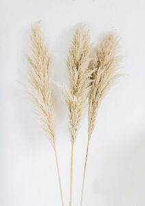 Extra Large Pampas Grass Bunch