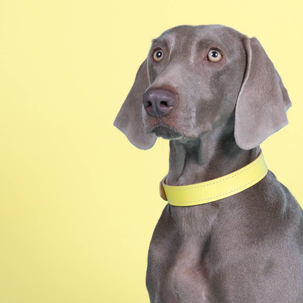 Lemon Yellow Leather Dog Collar