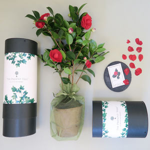 Spring Blossoming Camellia Gift