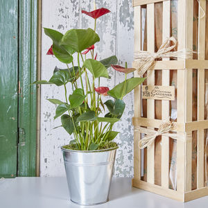 Anthurium House Plant - plants & trees