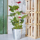 Anthurium House Plant