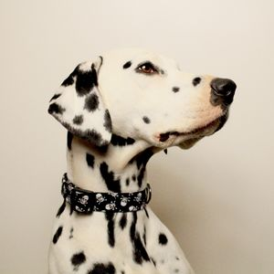 Skull And Crossbones Dog Collar - clothes