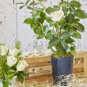 Pearl Wedding Anniversary Rose Gift - new in garden