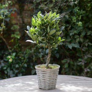 Kitchen Garden Twisted Stem Bay Tree In Wicker Basket