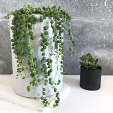 String Of Pearls Succulent - garden
