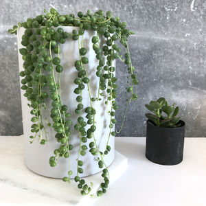 String Of Pearls Succulent - table decorations