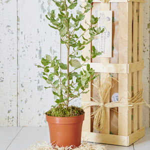 Evergreen Oak Tree Gift - 5th anniversary: wood