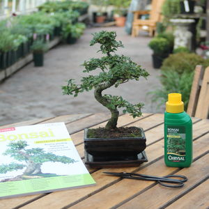 Eight Year Old Bonsai Tree Superior Gift Set
