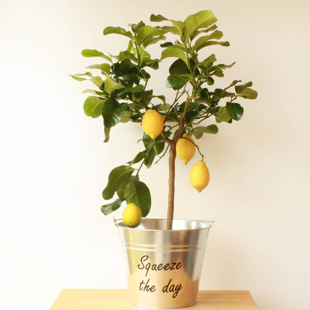 Lemon Tree By Plants4 Presents