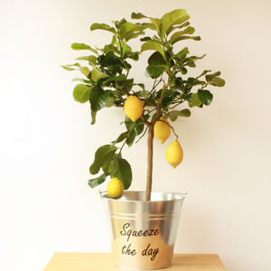 3ft Lemon Tree - 10th anniversary: tin