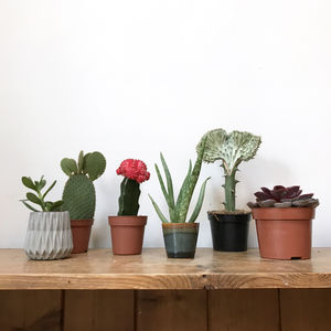 The Curated Collection Of Cacti Subscription - flowers & plants