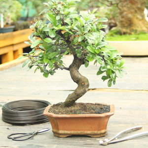Bonsai Tree And Book: Pyracantha