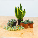 Five Succulent Plant Selection / Gift Set