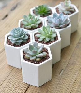 Hexagon Mini Planter With Succulent Or Cacti - gifts for her