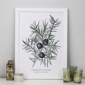 Juniper Berries A3 Botanical Giclee Art Print