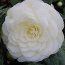 Golden Wedding Camellia Golden Anniversary