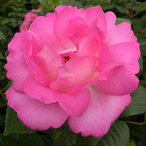 Celebrity Rose Gifts Rose Cliff Richard - flowers & plants